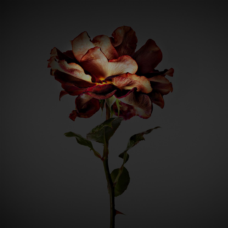 Old Rose - Massimo Gardone